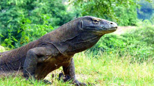 Shanti Travel - voyage à Komodo - dragon