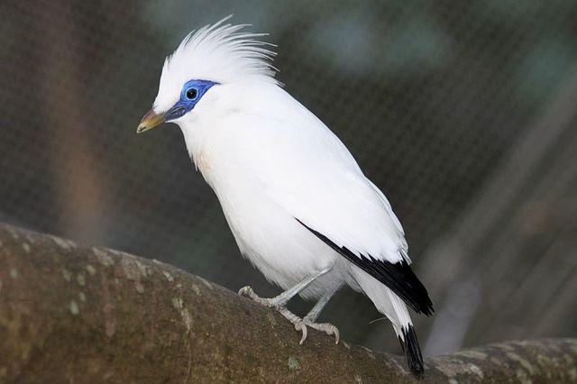 L'étourneau de Bali, magnifique oiseau huppé à la robe blanche, a trouvé refuge sur Nusa Penida. (Crédit photo : sedna.radio-canada.ca)
