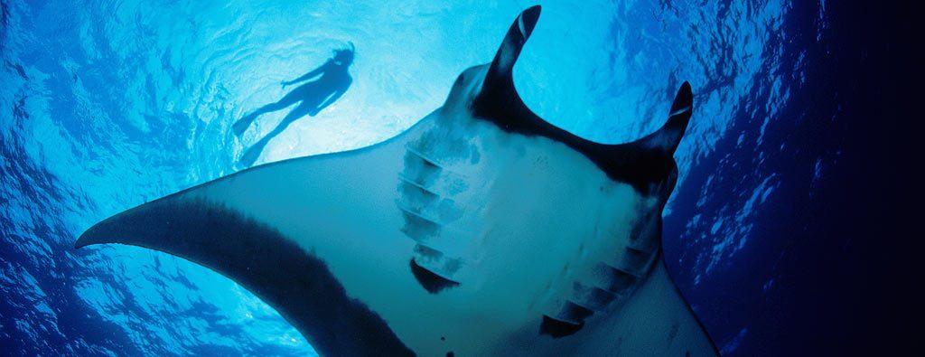 La plongée avec des raies manta : le rêve de tous les mateurs de snorkeling. (Crédit photo : aquareve.com)