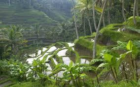 La splendeur des rizières d'Ubud constitue la clé du charme incomparable de la région centrale de Bali. (Crédit photo : golf.bytourexcel.fr)