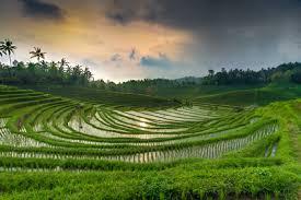 Les rizières du Nord de Bali