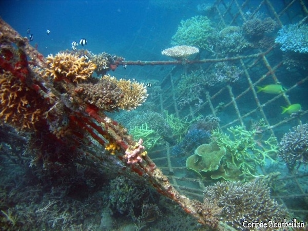 Les branches métalliques, parcourues d'un courant électrique, stimulent la repousse du corail endommagé. ( Crédit photo : www.petitebullesdailleurs.fr)