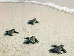 Les petites tortues sont relâchées après avoir grandi quelques temps dans la couveuse, pour optimiser leurs chances de survie. (Crédit photo : www.balipassion.net)